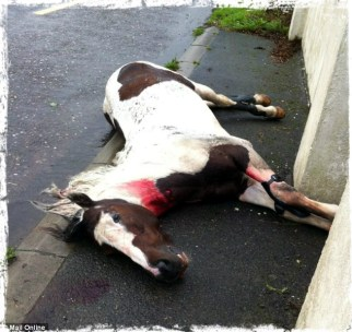Irish horse, was raced in a sulky, crashed into a stationary vehicle and sustained a broken neck.