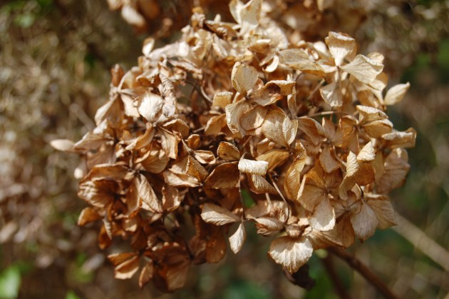 dried hydraenga