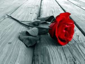 Valentine's Day red rose