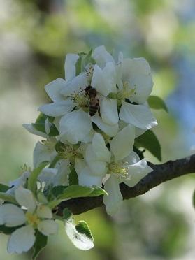honeybee pollinating apples