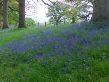 Bluebells at Croft Court