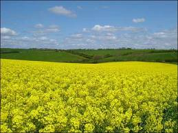 tait_rapeseed_450x338