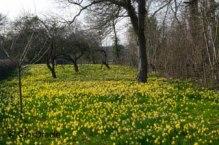 daffodils-gwenandvera