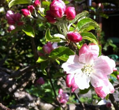 apple blossom sinle 2