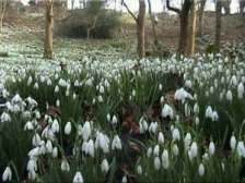 snowdrops-close-up (2)