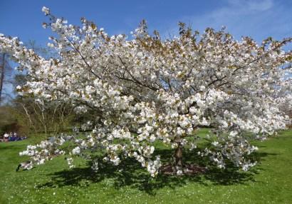 kew blossom 7