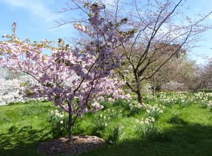 kew blossom and daffodils