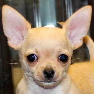 Short Hair Chihuahua Puppy