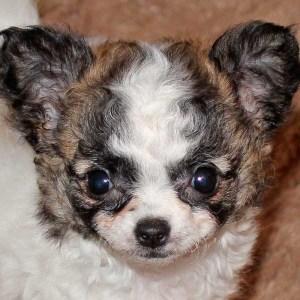 Teacup Long Hair Chihuahua Puppy