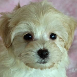 Morkiepoo Puppy for Sale