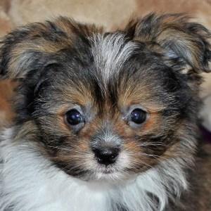 Pom-Shih Puppy