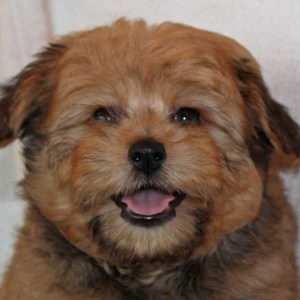 Poma-Poo Puppy for Sale