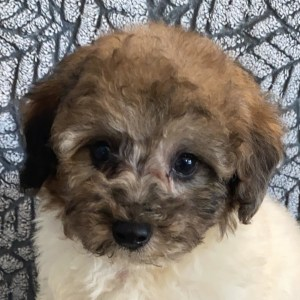 Poodle Puppy for Sale