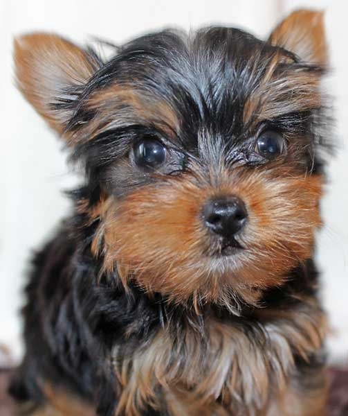 Teacup Yorkie Puppy for Sale