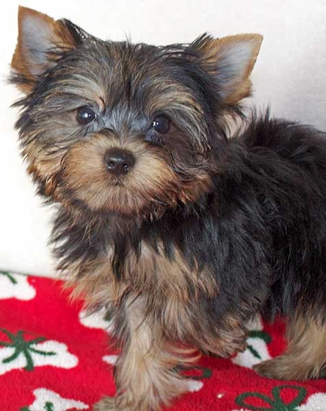 T-Cup Yorkie Puppy for Sale