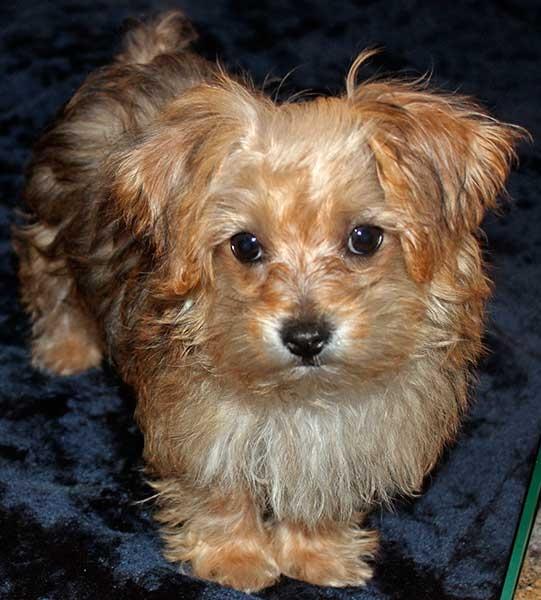 Yorkie-Poo Puppy