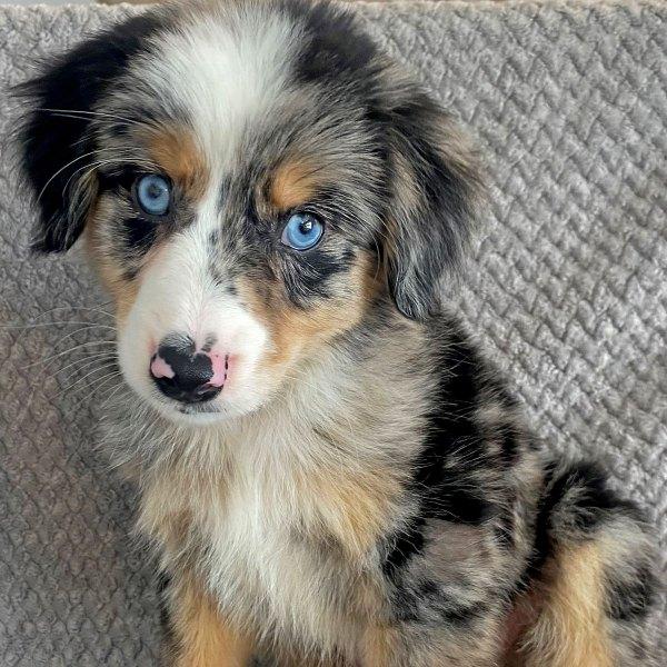 Australian Shephard Puppy for Sale