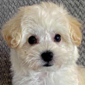 Havachon Puppy for Sale