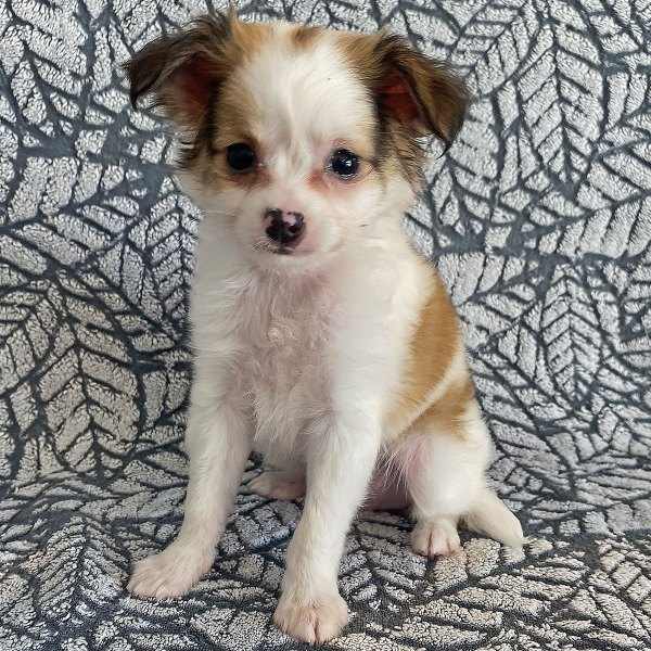 Long Hair Chihuahua Puppy for Sale