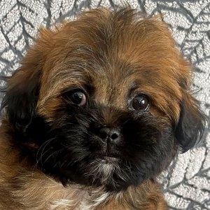 Peek-a-Poo Puppy for Sale