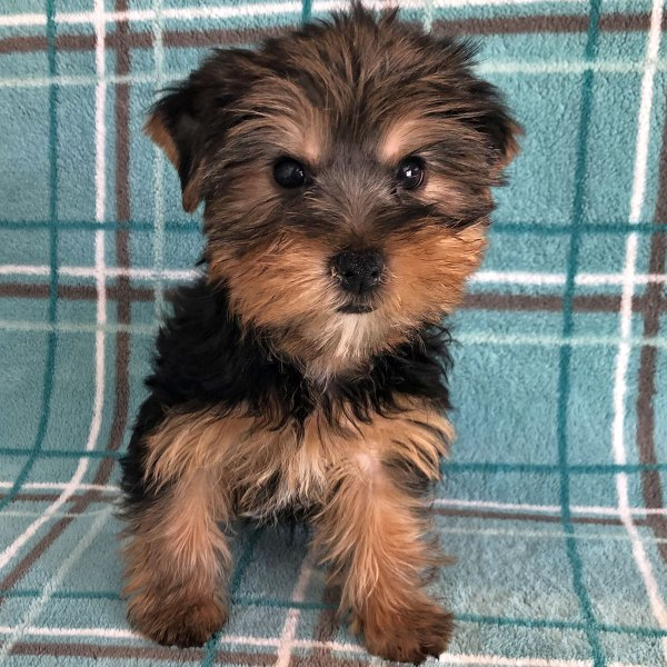 Female Yorkie Puppy for Sale