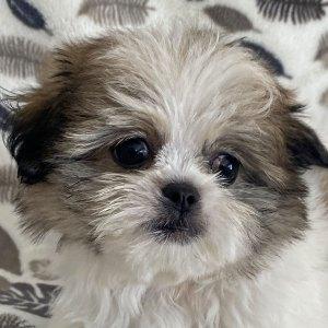 Male Pomeranian Shih-Tzu Puppy for Sale