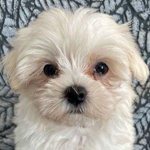 Female Maltese Puppy for Sale