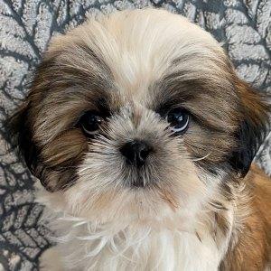 Male Shitzu Puppy for Sale