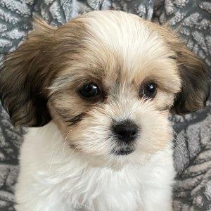 Male Teddy Bear Puppy for Sale