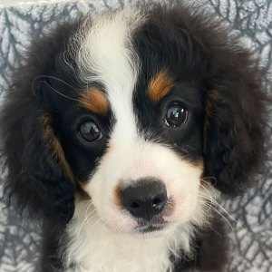 Male Bernedoodle Puppy for Sale