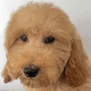 Male Golden Doodle Puppy for Sale
