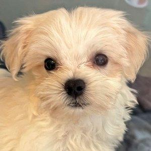 Male Maltese Puppy for Sale