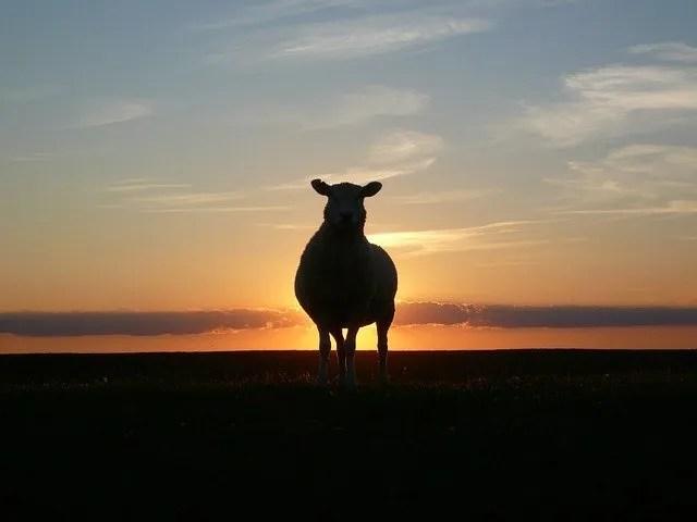 שה כבש בזריחה שקיעה