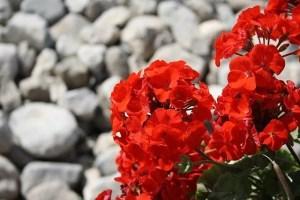 פרח אדום על רקע אבנים