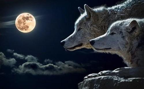 זאב טרוף לאור ירח