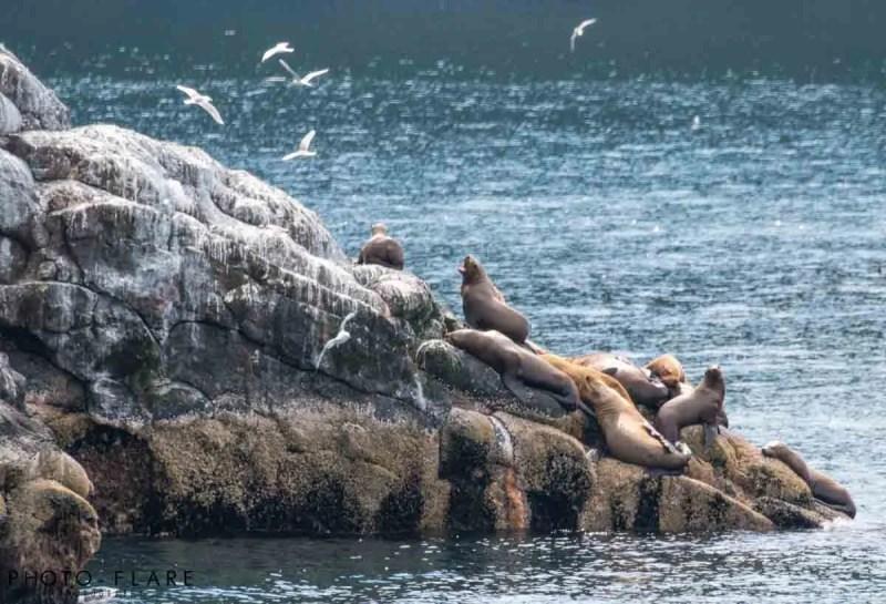 כלבי ים אלסקה