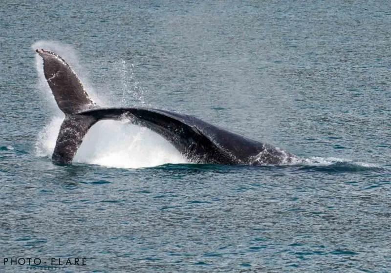 לווייתן גדול-סנפיר