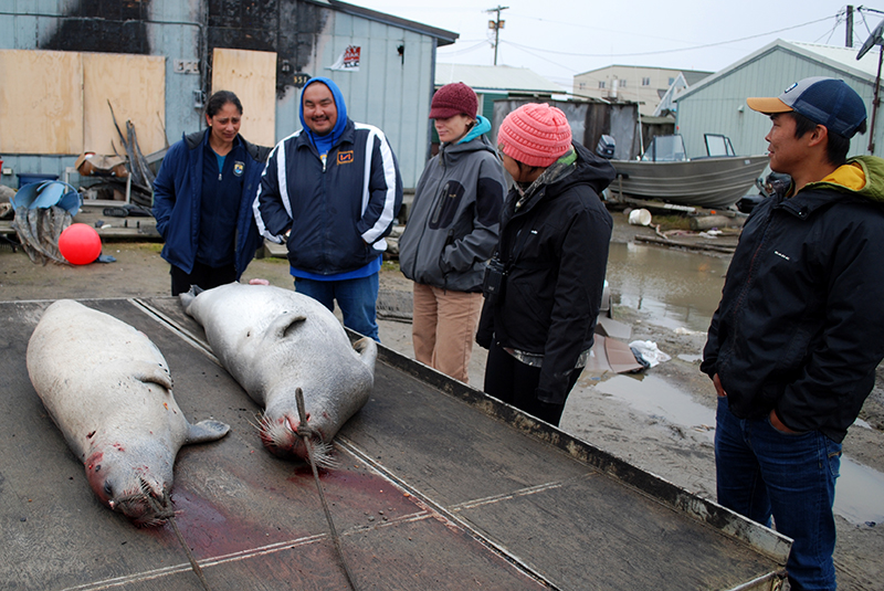 Standing outside a home in Utqiaġvek, Alaska, ANSEP student and U.S. Fish and Wildlife intern Randall Friendly (far right), 22, listens as local Ernest Nageak (blue hood) talks about the boat crew that caught these two seals. Both Alaska Native men, who grew up hundreds of miles apart, participate with their families in the subsistence lifestyle practiced by their ancestors.