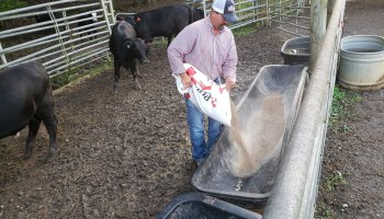 Brad Parton, a rancher and educator in Fayetteville, Tenn., feeds some of his 25 cows on his farm.