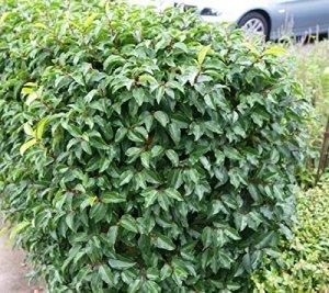 Hecken-Pflanzen-kaufen - Prunus lusitanica 'Angustifolia', Portugiesische Lorbeerkirsche 'Angustifolia