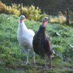 Crimbo and Yule, Freshly Hatched Turkeys!
