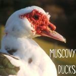 Raising Muscovy Ducks