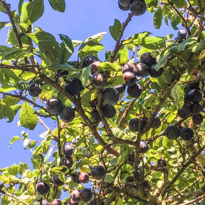 Sloe and Blackberry Hedgerow Jam