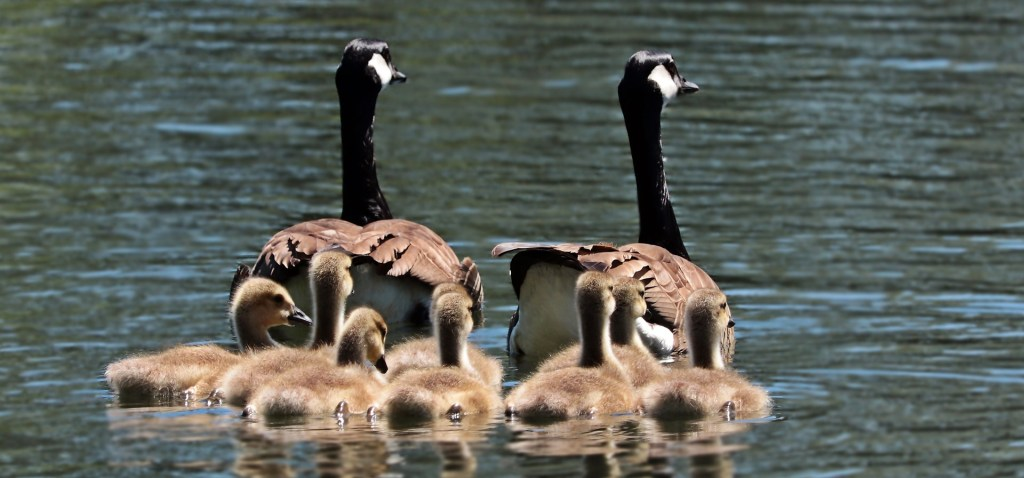 geese-2494952_1920