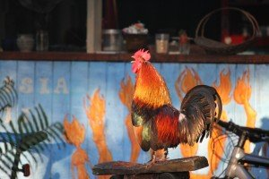 Hedonisia Rooster starting the day!