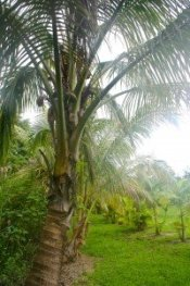 coconut tree agriculture tourism
