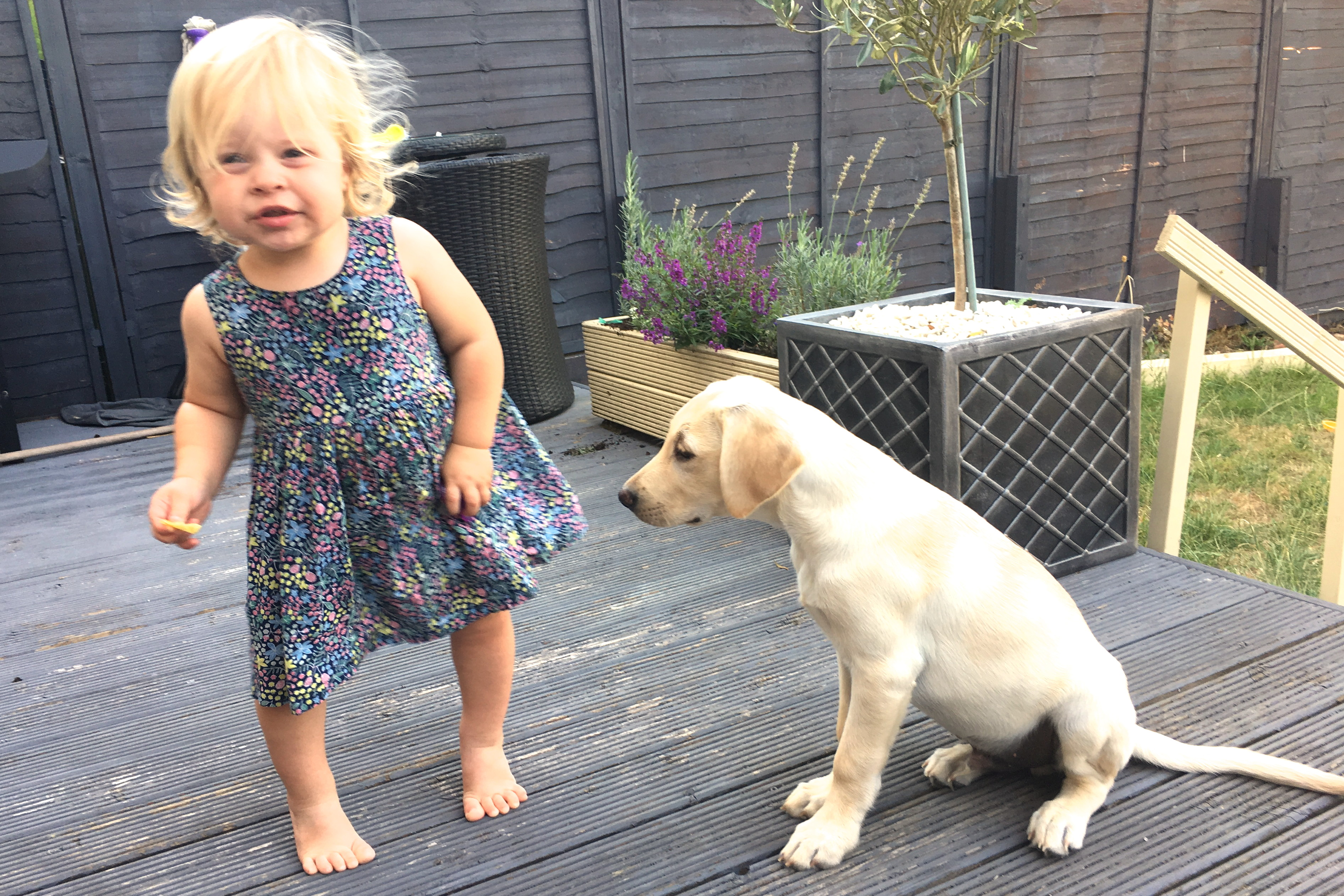18 month old girl dancing with yellow labrador puppy