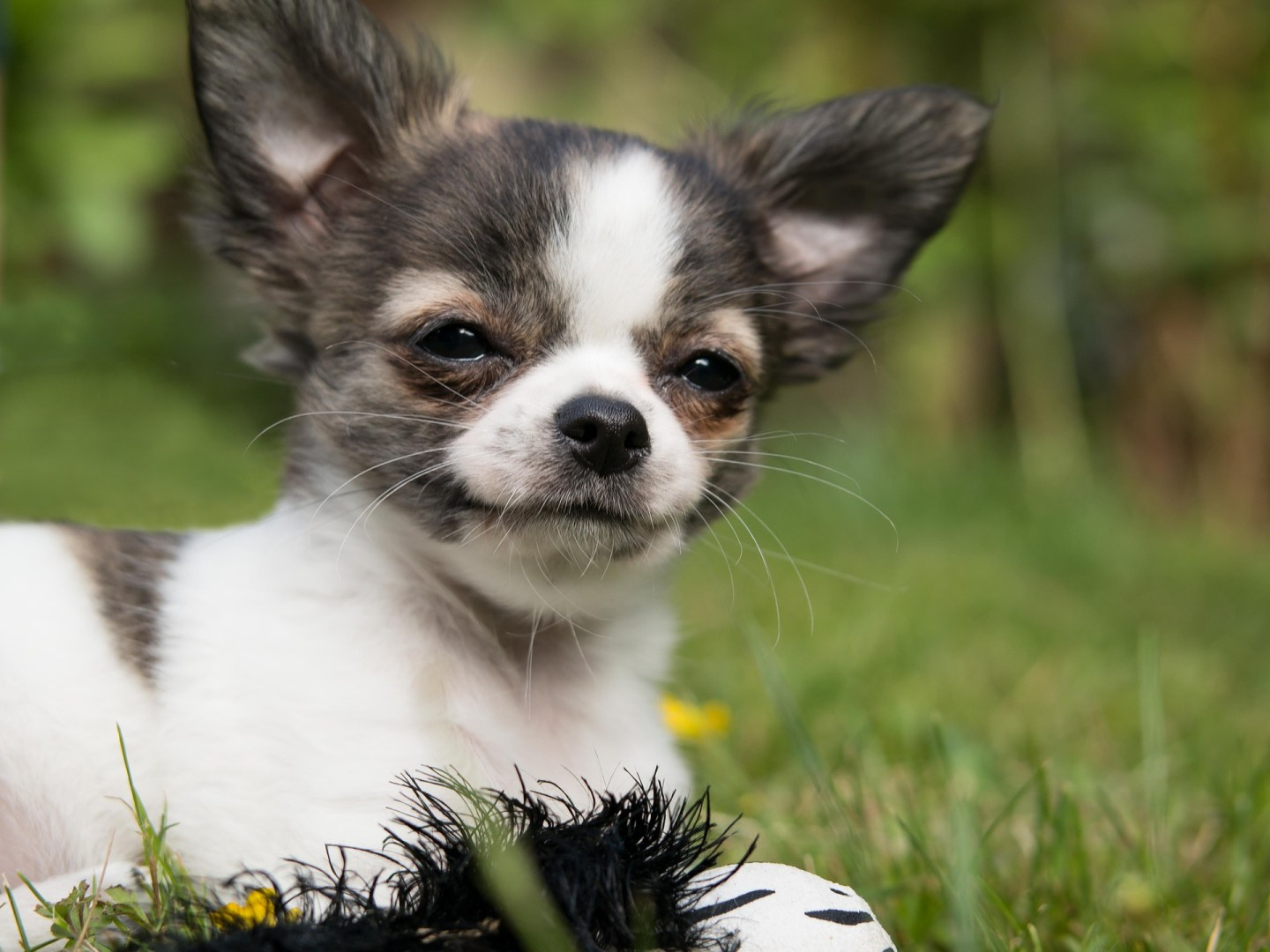 Chihuaua puppy lying on grass, looking at camera, depicting money saving advice article for dog owners