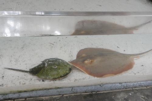 Florida Aquarium Tampa horseshoe crabs stingray
