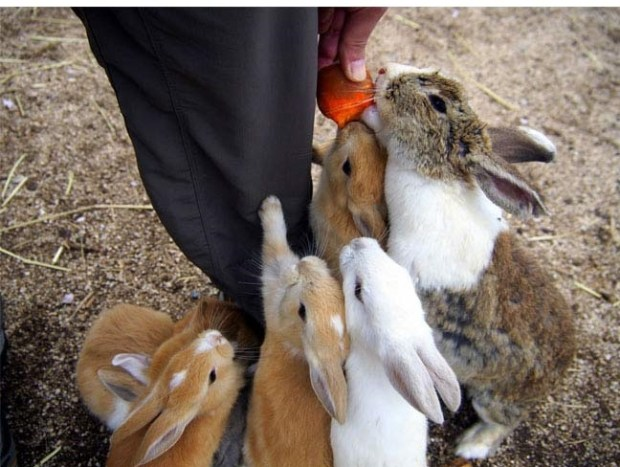 cool-bunny-island-Okunoshima-Japan-from themetapicture
